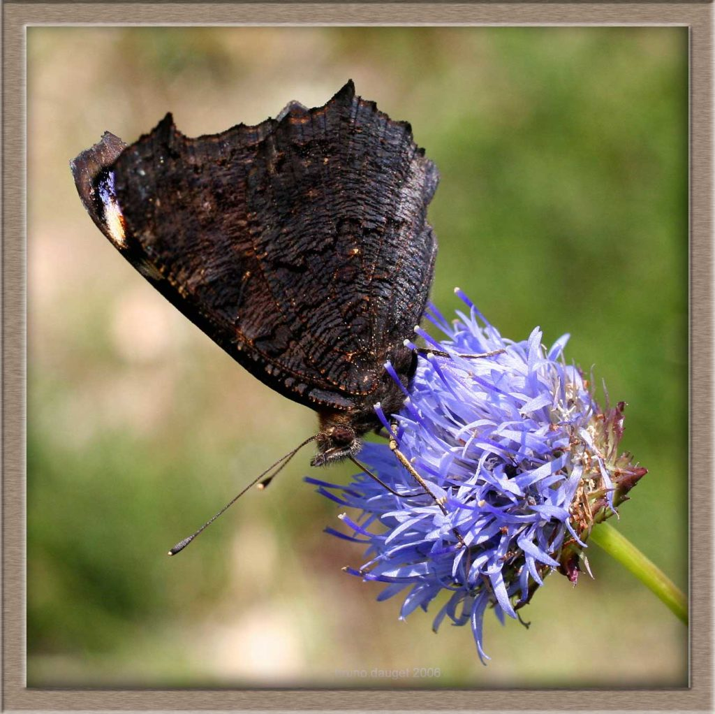 Paon-du-jour butinant fleur bleue de Jasone ailes repliées