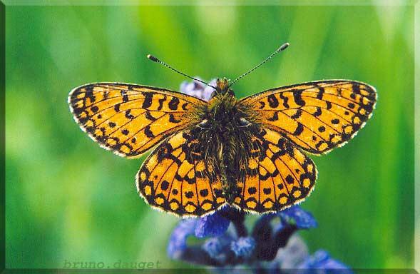 Petit Collier argenté posé sur fleur Bugle ailes écartées