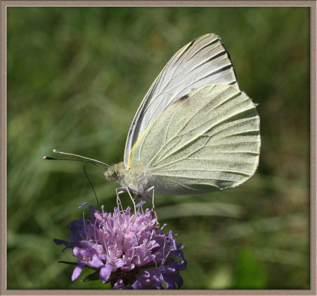 Piéride du Chou butinant fleur mauve de Scabieuse ailes repliées