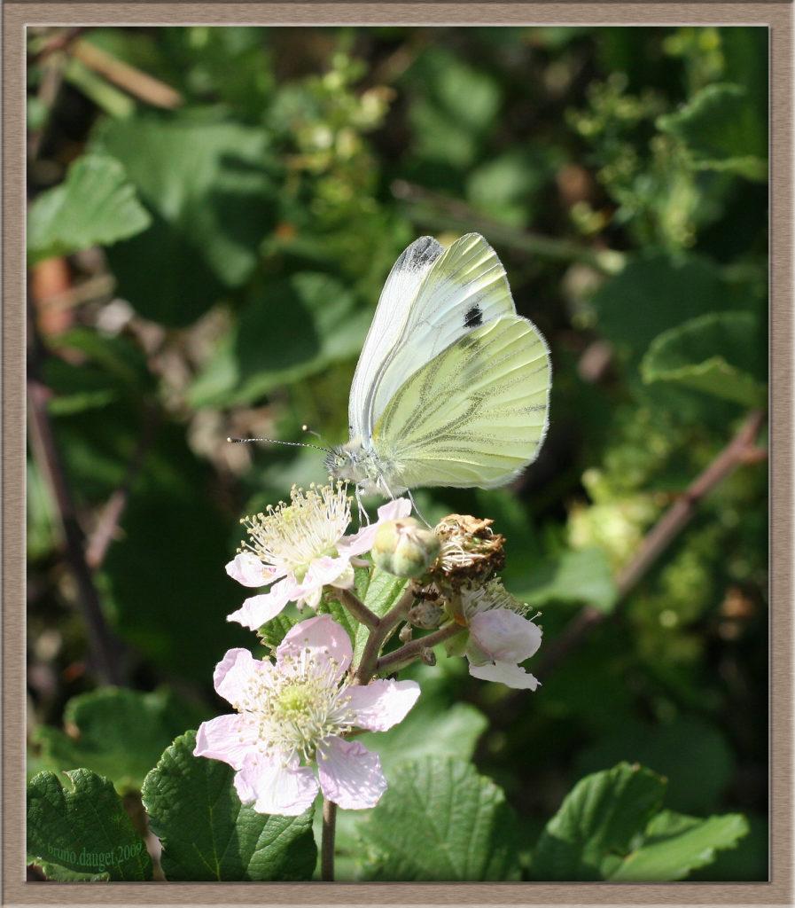Piéride du Navet femelle butinant une fleur de Ronce ailes repliées