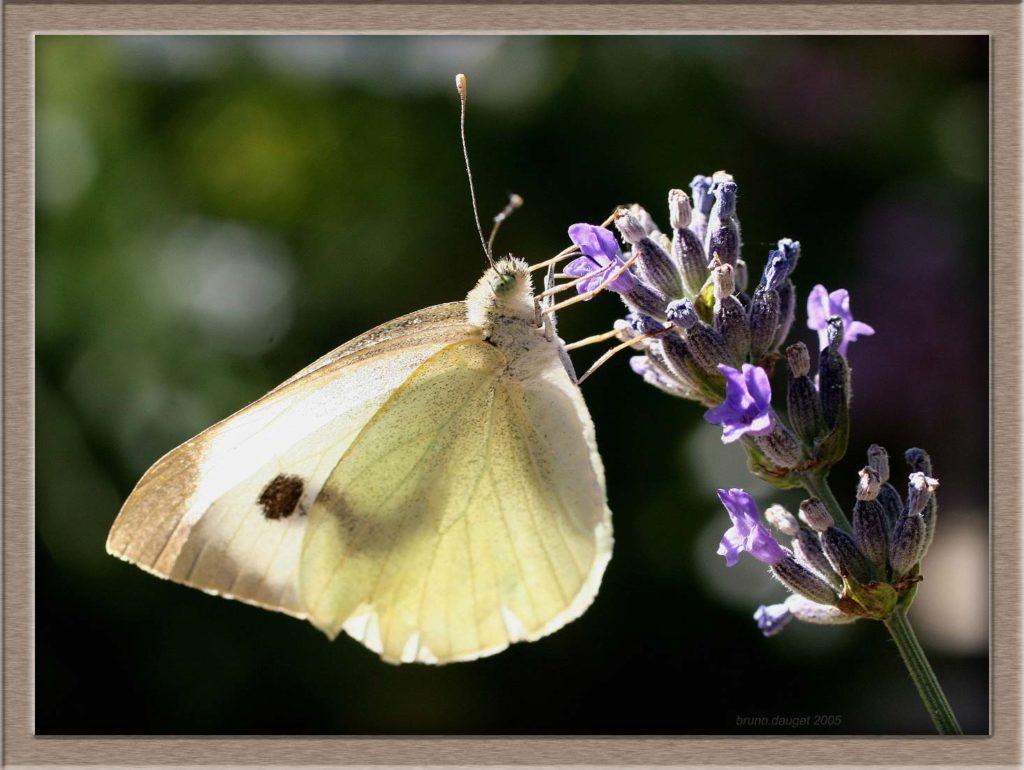 Piéride de la Rave femelle butinant fleur de Lavande ailes repliées