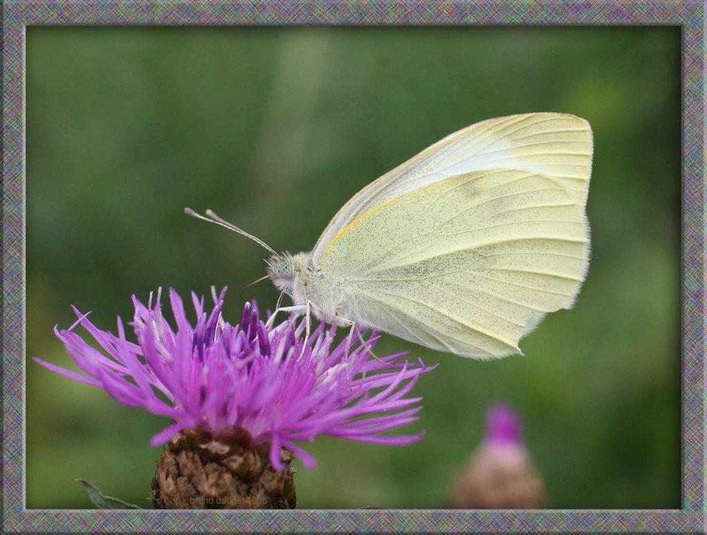 Piéride de la Rave butinant fleur mauve de Centaurée ailes repliées