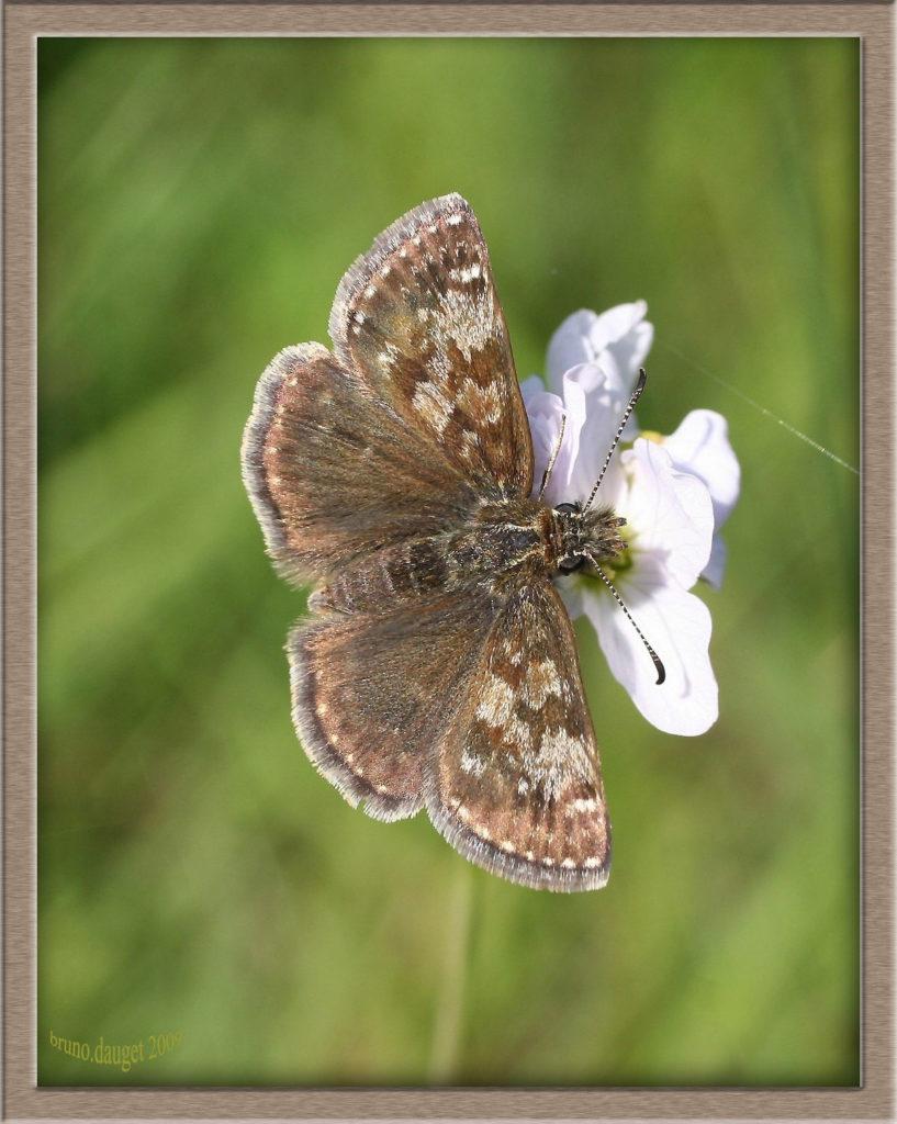 Point-de-Hongrie butinant fleur de Cardamines ailes écartées