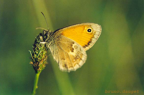 Procris sur herbe ailes repliées au soleil couchant