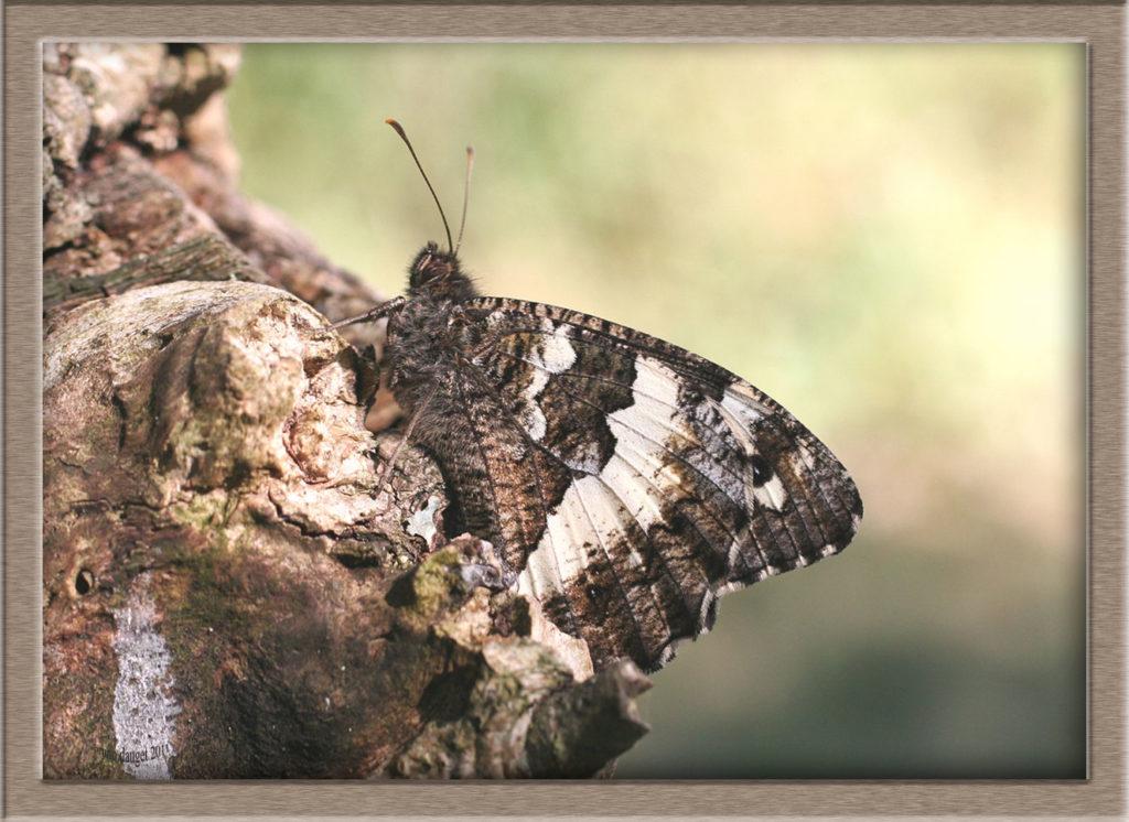 Silène posé sur tronc d'arbre ailes repliées