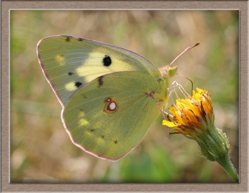 Soufré femelle butinant fleur jaune de Pissenlit ailes repliées