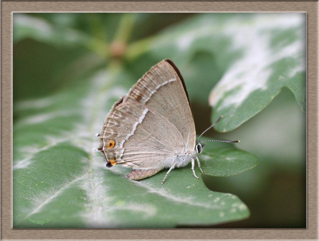 Thécla du Chêne posé sur feuille de Chêne ailes repliées