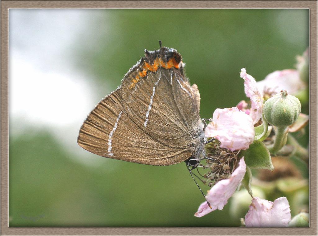 Thécla de l'Orme butinant fleur de Ronce ailes repliées