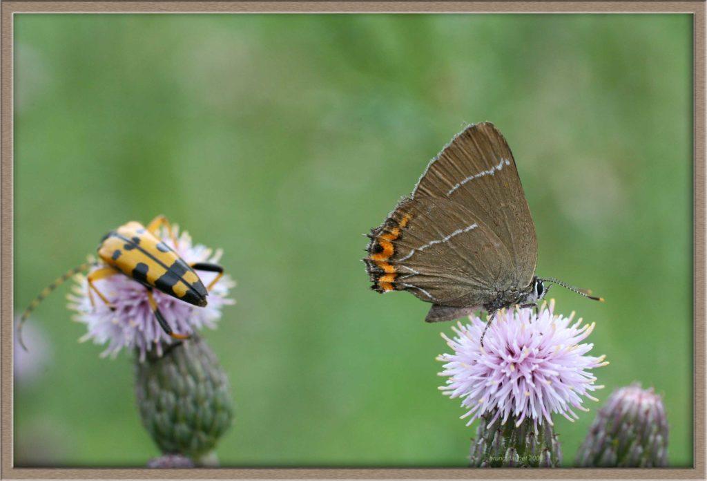 Thécla de l'Orme butinant fleur de Cirse ailes repliées