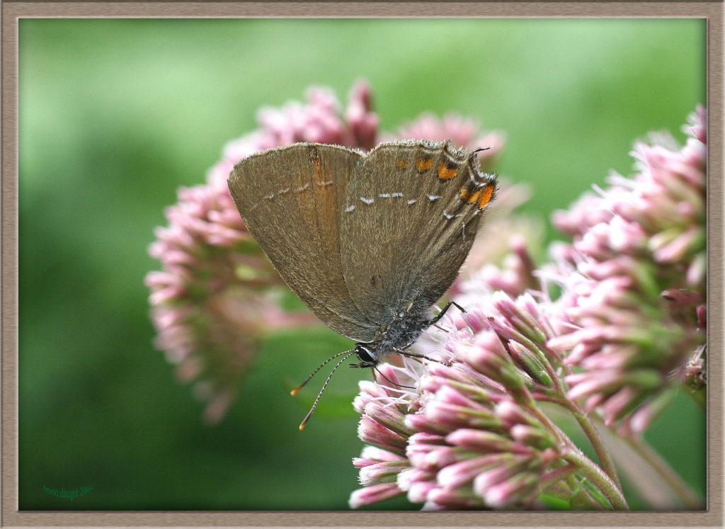 Thécla de l'Yeuse femelle butinant fleurs roses d'Eupatoire chanvrine ailes repliées