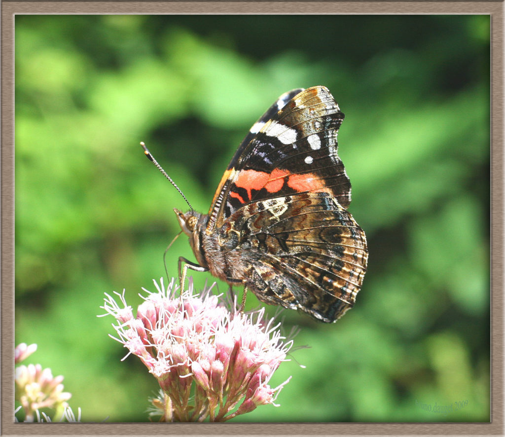 Vulcain butinant fleur d'Eupatoire chanvrine ailes repliées