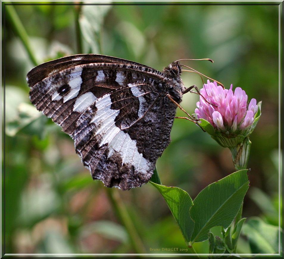 Silène butinant une fleur de Trèfle ailes repliées