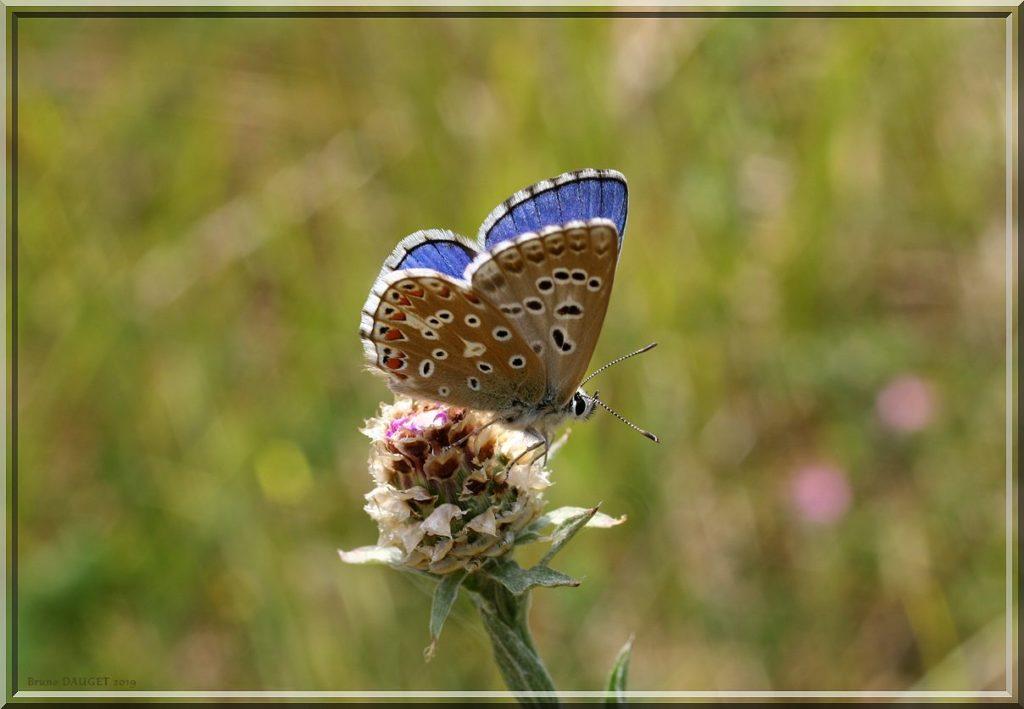 Azuré bleu-céleste mâle posé sur un bouton floral ailes entre-ouvertes