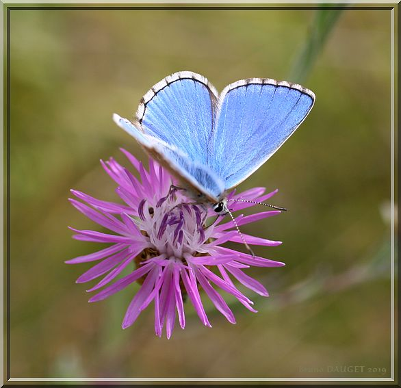 Azuré bleu-céleste butinant une fleur mauve ailes écartées