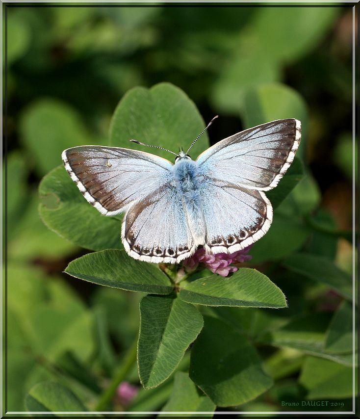 Azuré bleu-nacré posé sur trèfle ailes écartées