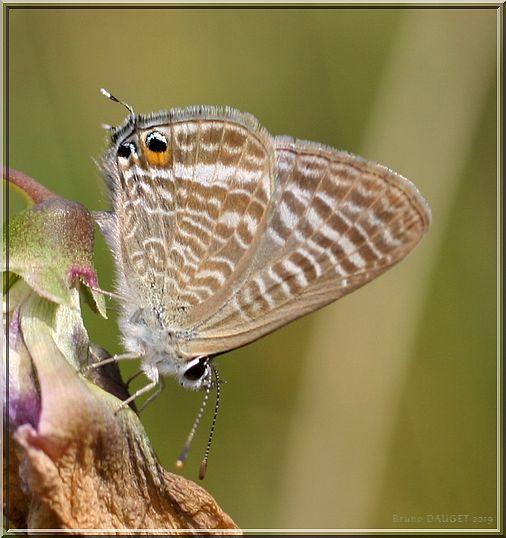 Azuré porte-queue posé sur une fleur fanée ailes repliées