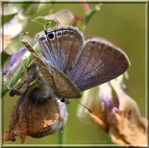 Azuré porte-queue posé sur fleur fanée Poix de senteur