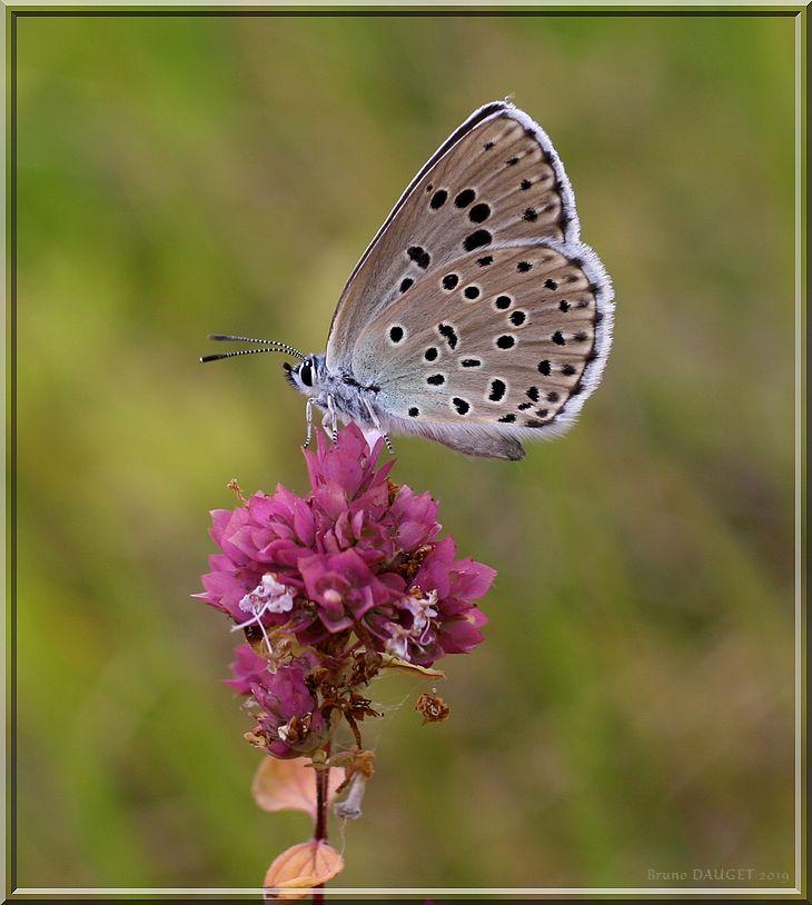 Azuré du Serpolet sur fleur d'Origan ailes repliées