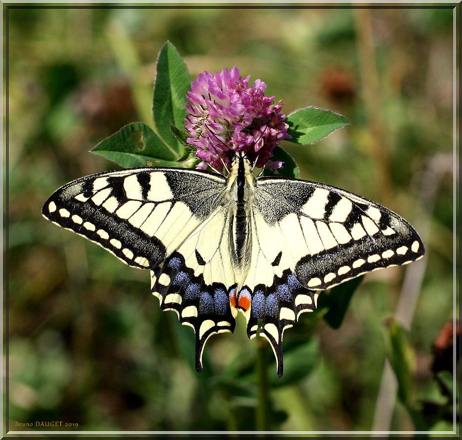 Machaon sur fleur de Trèfle ailes écartées