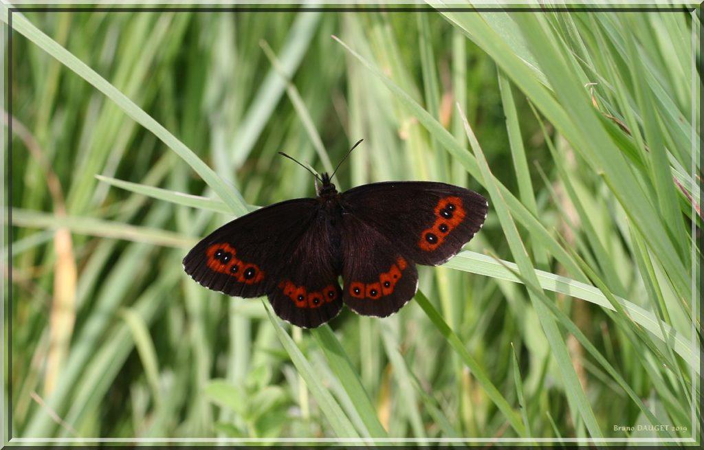 Moiré blanc-fascié posé dans l'herbe ailes écartées