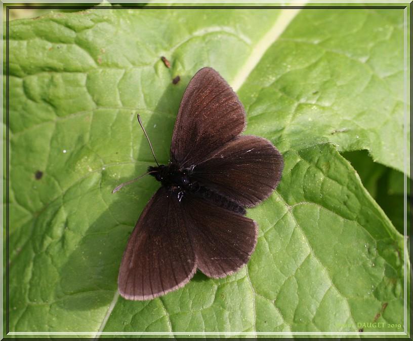Moiré variable posé sur une feuille ailes écartées