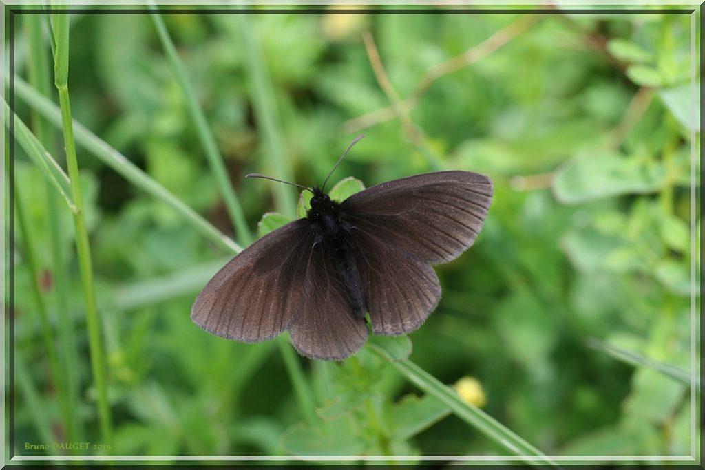 Moiré variable posé dans l'herbe ailes écartées
