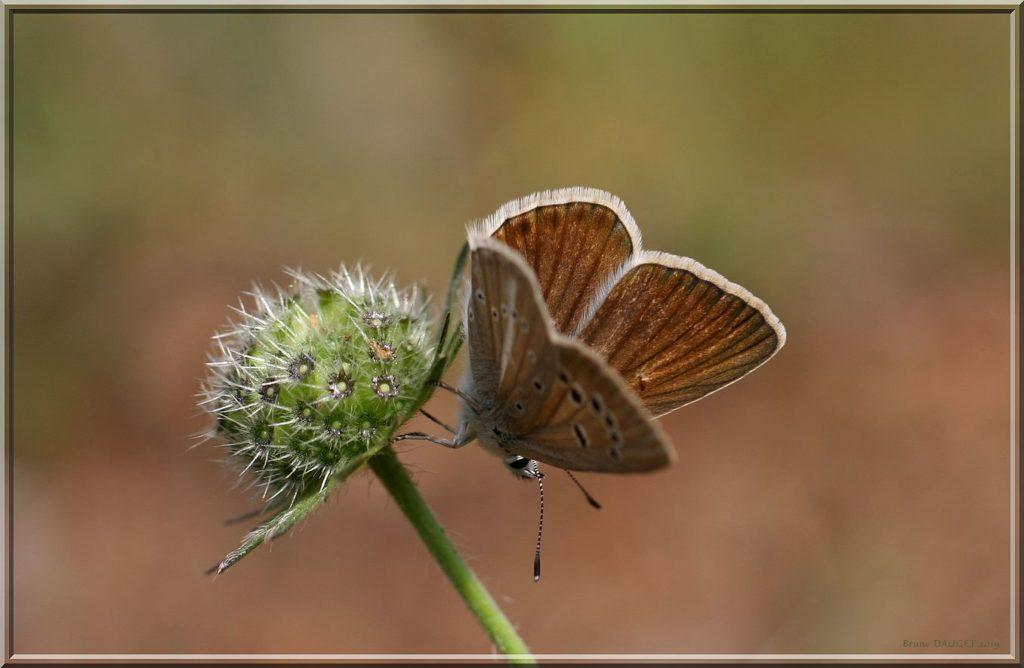Sablé de la Luzerne femelle posée ailes écartées
