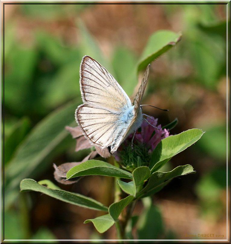 Sablé de la Luzerne mâle sur fleur de Trèfle ailes écartées