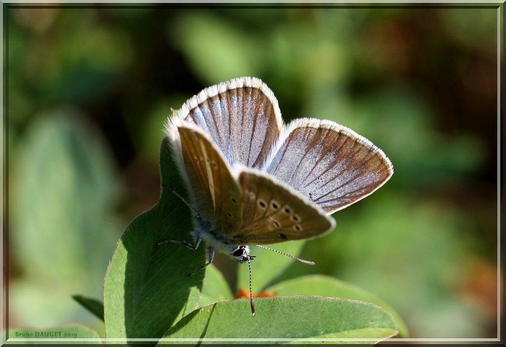 Sablé du Sainfoin posé ailes écartées