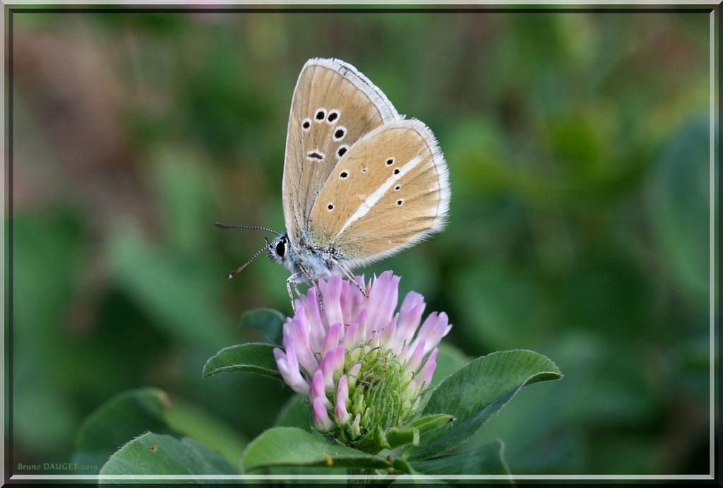 Sablé du Sainfoin posé sur fleur de Trèfle ailes repliées