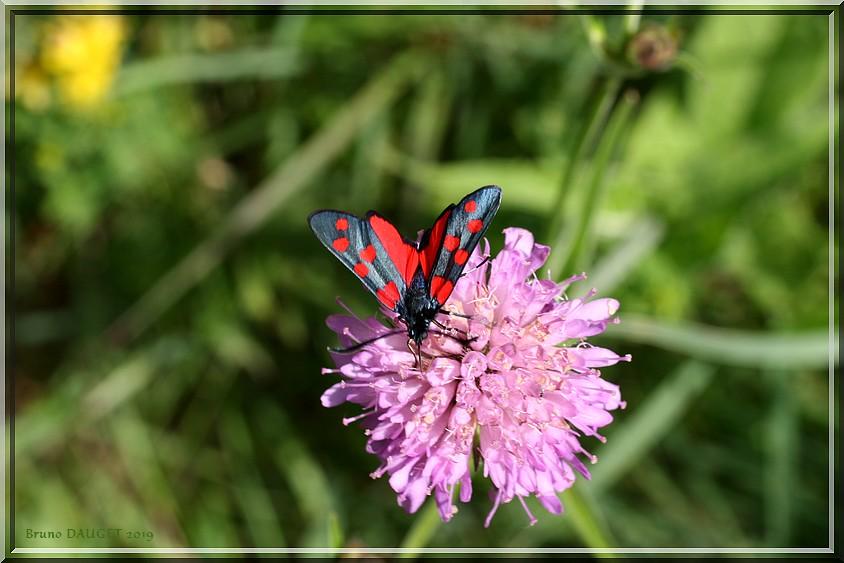 Zygène transalpine sur fleur de Scabieuse
