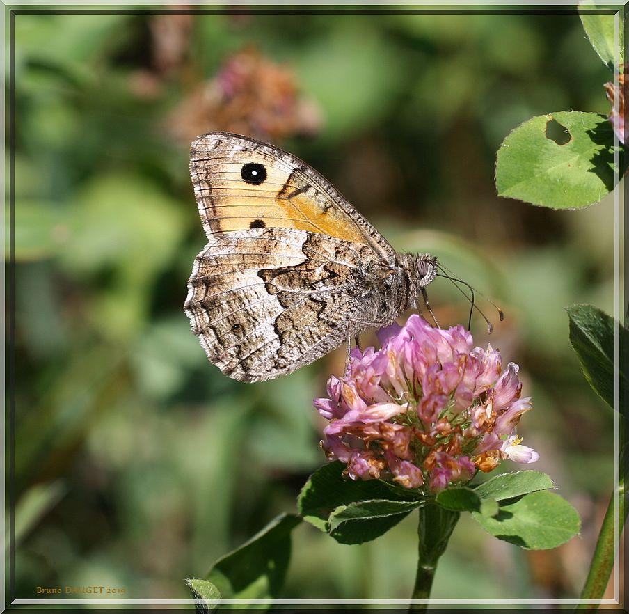 Agreste butinant une fleur de Trèfle ailes repliées