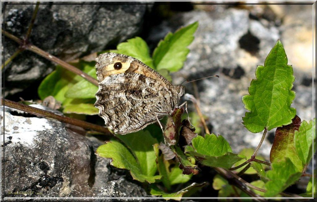Agreste posé au sol ailes repliées