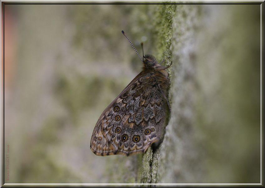 Satyre posé au dos d'une pierre ailes repliées
