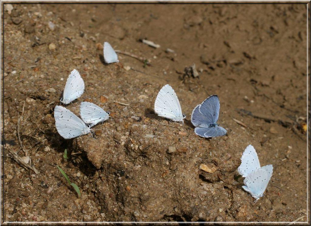 Groupe d'Azuré des nerpruns posés sur sol humide