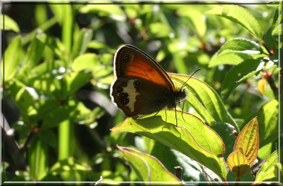 Céphale posé ailes repliées à contre jour sur feuille