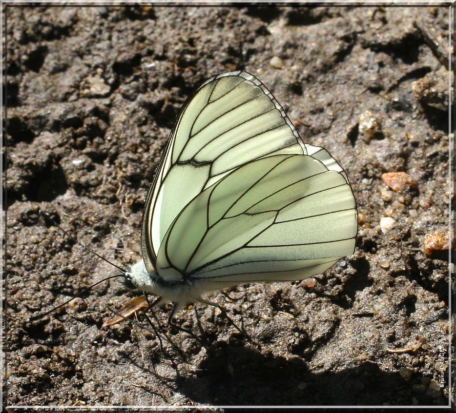 Gazé posé ailes repliées sur sol humide