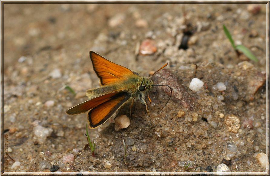 Hespérie de la Houque posée sur sol humide ailes écartées