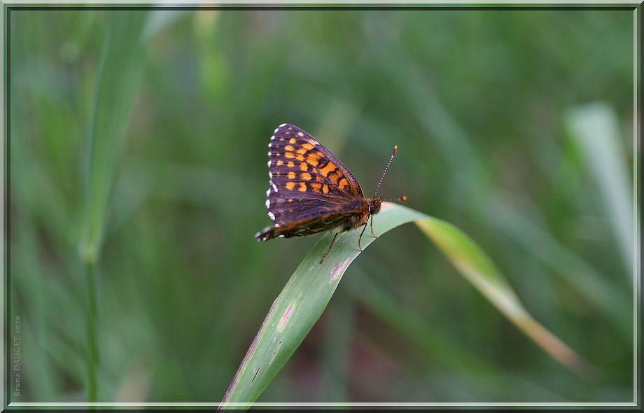 Mélitée noirâtre posée ailes écartées sur herbe