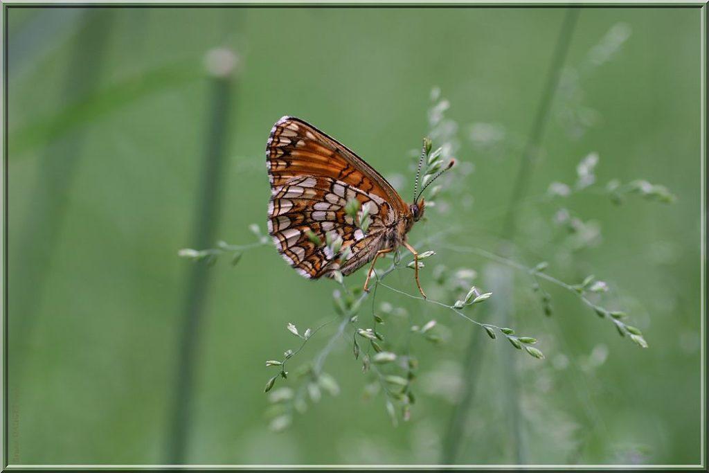 Mélitée noirâtre posée sur herbe ailes repliées