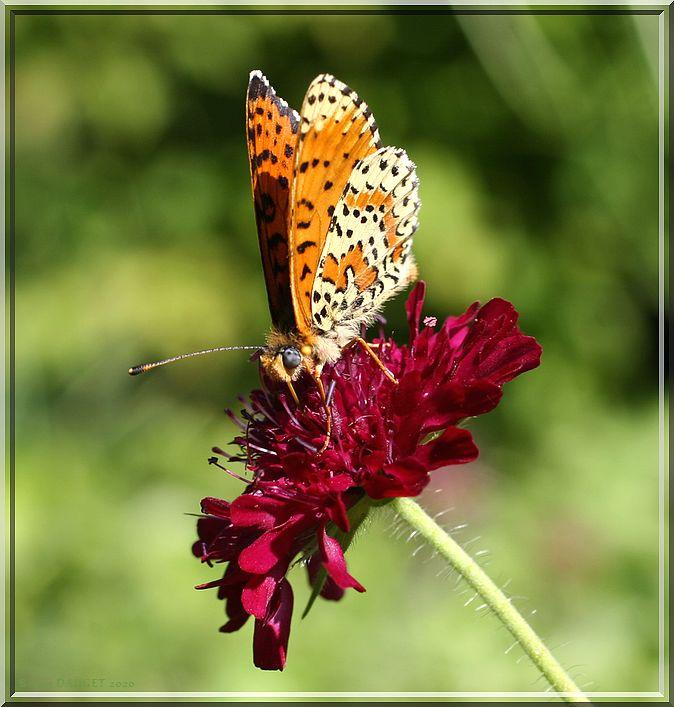 Mélitée orangée butinant une fleur de Knautia pourpre