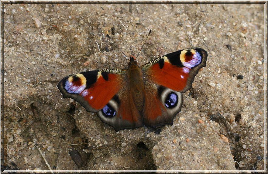 Paon du jour posé sur sol humide ailes écartées
