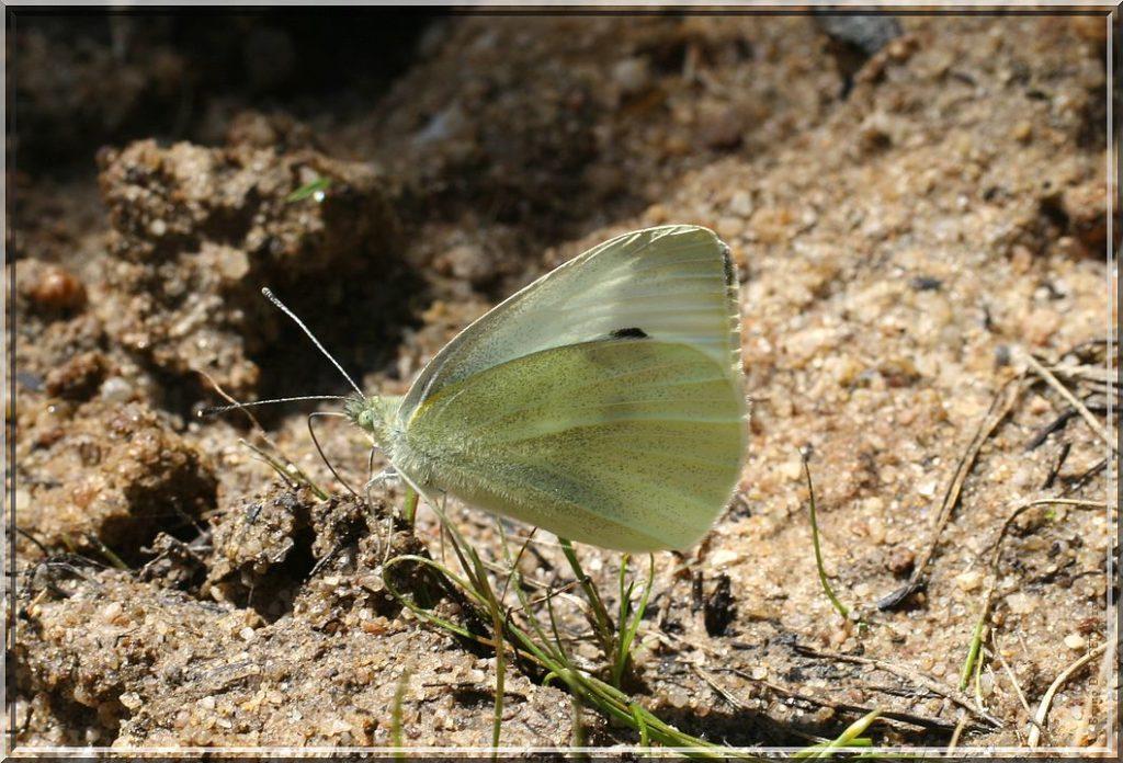Piéride du Chou posée ailes repliées sur sol humide