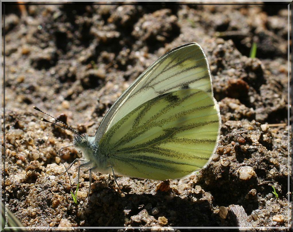 Piéride du Navet posée ailes repliées sur sol humide