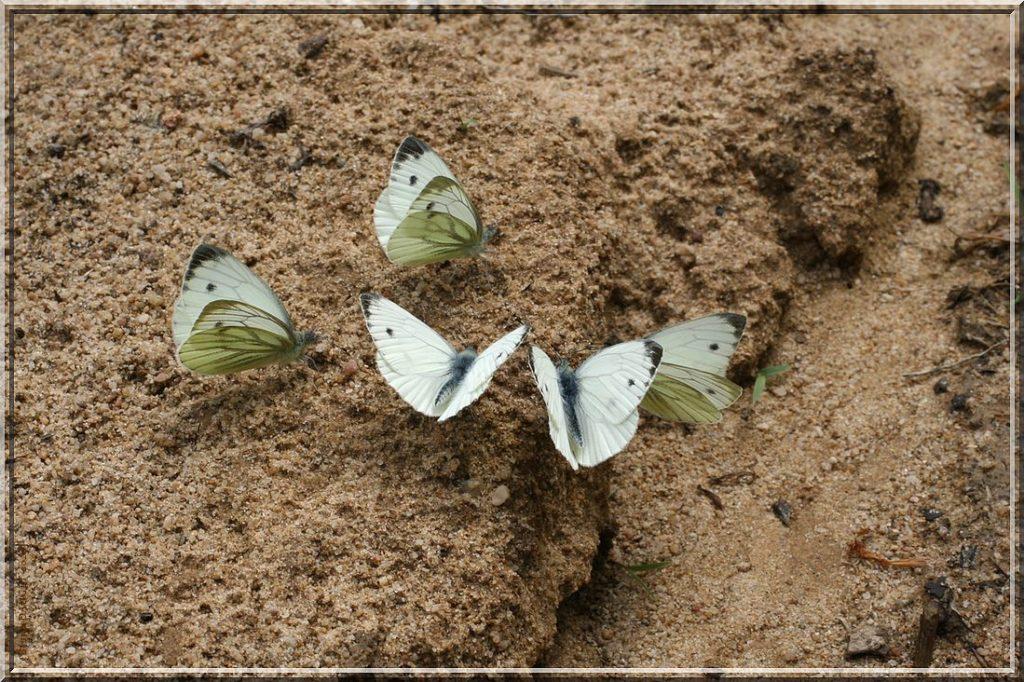 Groupe de Piéride du Navet posées sur sol humide