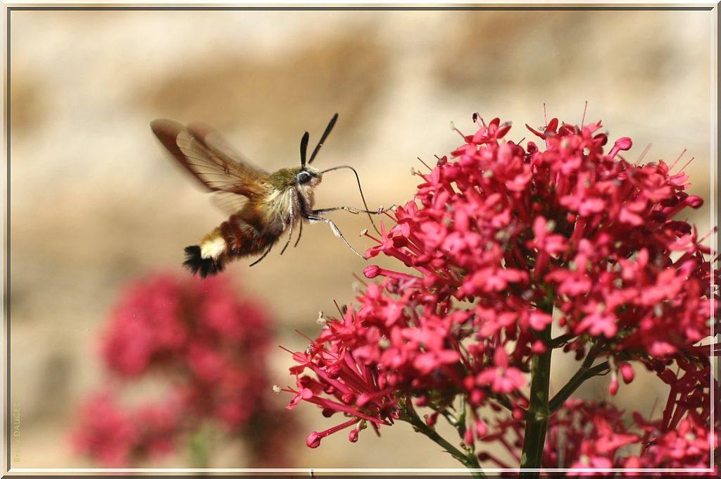 Sphinx gazé butinant une fleur de Valériane