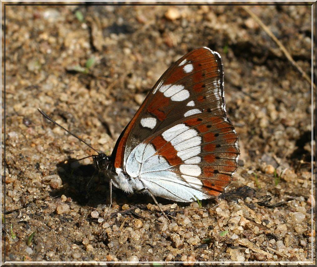 Sylvain azuré posé ailes repliées sur sol humide
