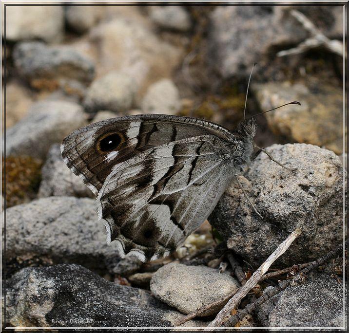 Chevron blanc posé au sol ailes repliées