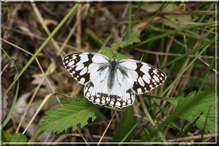 Echiquier d'Ibérie posé sur l'herbe ailes écartées