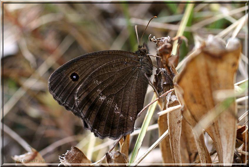 Grand Nègre des bois mâle posé sur des herbes sèches ailes repliées